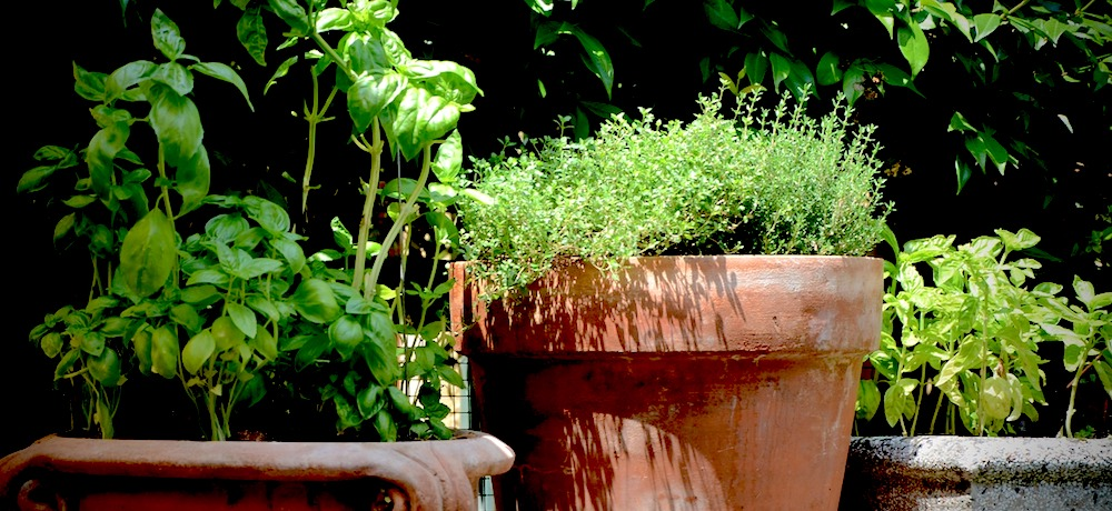 Decorative pots are filled with healthy looking herb plants.